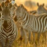 Зебры_в_национальном_парке_Масаи-Мара,_Кения
